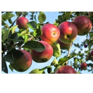 Яблоко Богатырь