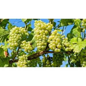 Виноград Испанка