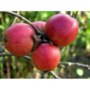 Яблоки Орлик