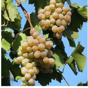 Виноград сорт Дианка